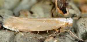 Argyresthia-aurulentella-06-1