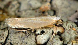 Argyresthia-aurulentella-06-3