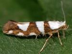 Argyresthia brockeella (I)