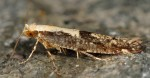 Argyresthia conjugella (I)