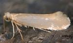 Argyresthia glabratella (I)