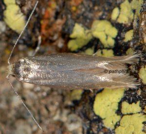 Argyresthia-illuminatella-06-2