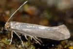 Argyresthia laevigatella