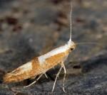 Argyresthia pruniella (I)