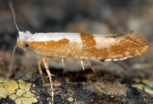 Argyresthia pruniella 3
