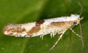 Argyresthia pruniella 7
