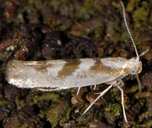 Argyresthia pygmaeella 3