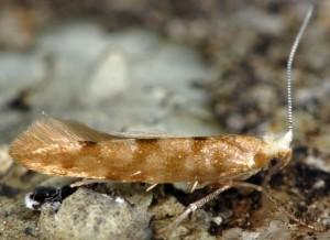 Argyresthia reticulata 7