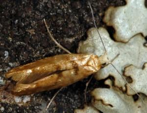Argyresthia reticulata 9