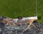 Argyresthia spinosella (I)