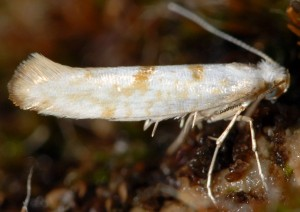 Argyresthia submontana 03