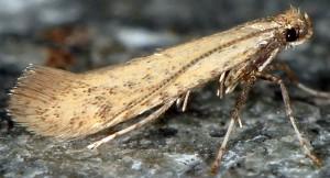 Aspilapteryx limosella 1