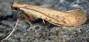 Aspilapteryx limosella 2