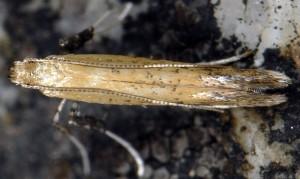 Aspilapteryx limosella 5