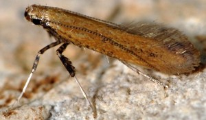 Aspilapteryx limosella 6