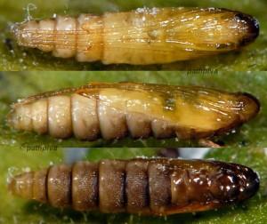 Aspilapteryx limosella p