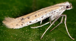Aspilapteryx tringipennella 1