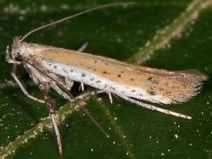 Aspilapteryx tringipennella 2