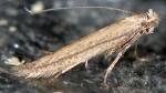 Bedelliidae