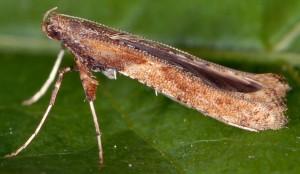 Caloptilia falconipennella 1