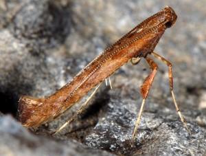 Caloptilia falconipennella 2