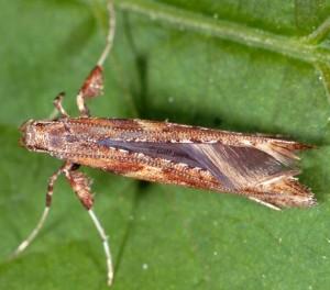 Caloptilia falconipennella 3