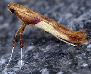 Caloptilia fribergensis 1