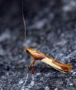 Caloptilia fribergensis 2