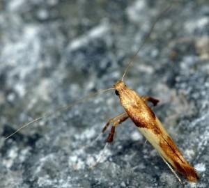 Caloptilia fribergensis 3