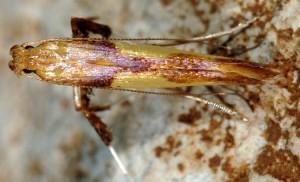 Caloptilia fribergensis 6
