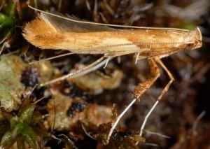 Caloptilia hemidactylella 2