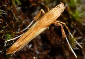 Caloptilia hemidactylella 3