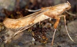 Caloptilia hemidactylella 4
