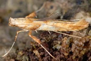 Caloptilia hemidactylella 5
