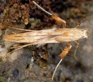 Caloptilia hemidactylella 6