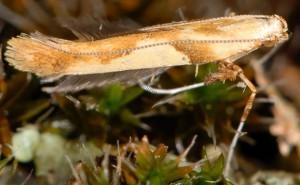 Caloptilia hemidactylella 7