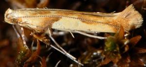 Caloptilia hemidactylella 8