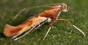 Caloptilia hemidactylella 9