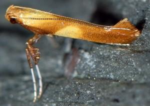 Caloptilia robustella 1