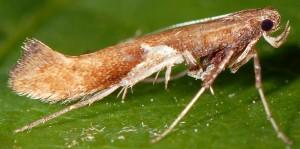 Caloptilia stigmatella 1