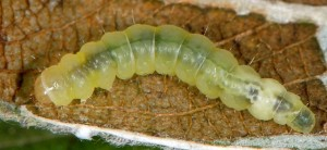 Caloptilia stigmatella L5 3