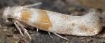 Cedestis gysseleniella (I)