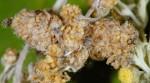 Coleophora absinthii (F)