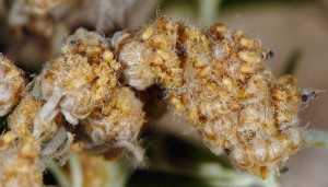 Coleophora absinthii f 2