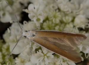 Coleophora acrisella 1