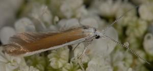 Coleophora acrisella 2