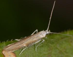 Coleophora acrisella 3