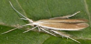 Coleophora acrisella 5