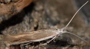 Coleophora acrisella 6
