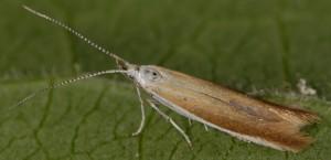 Coleophora acrisella 8